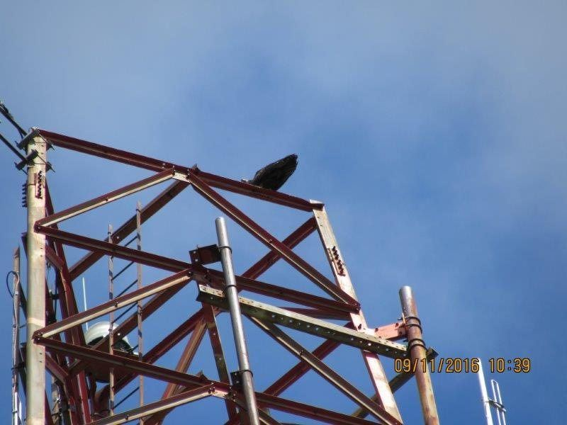 A hawk on the tower top