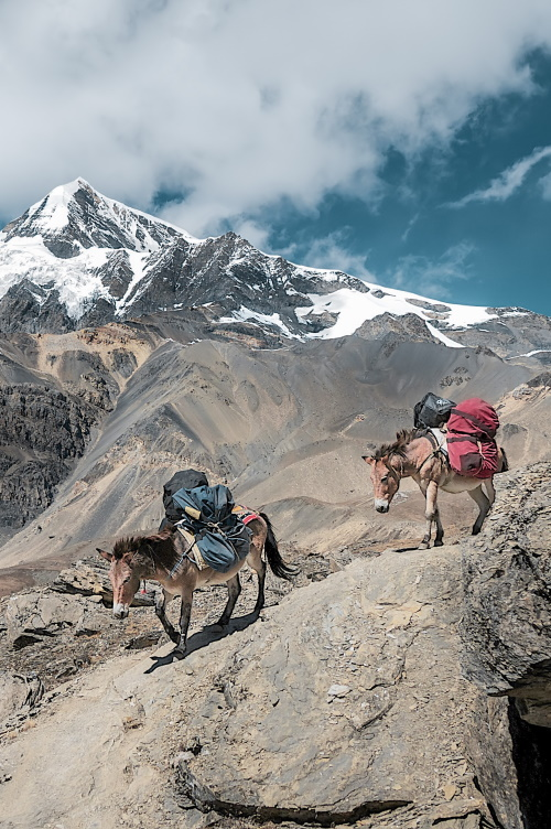 two pack mules on a mountain